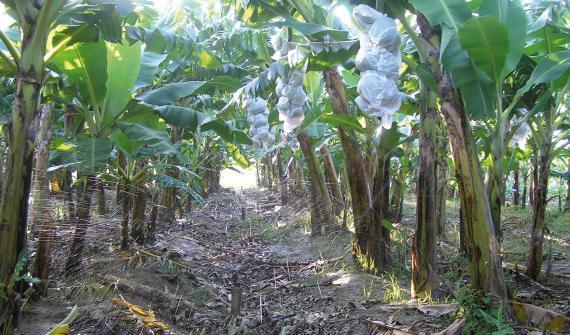 L'irrigation par aspersion a augmenté la production de banane du Ghana de 35%!